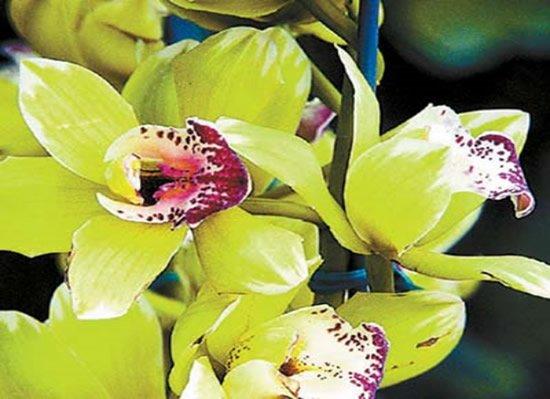 Orquidea-Shenzhen-Nongke fatos e eventos